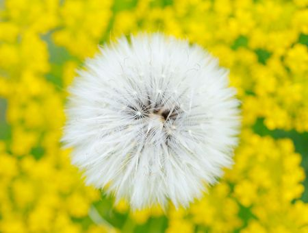 Dandelion on the field photo