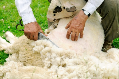 Shearing Sheep Stock Photo