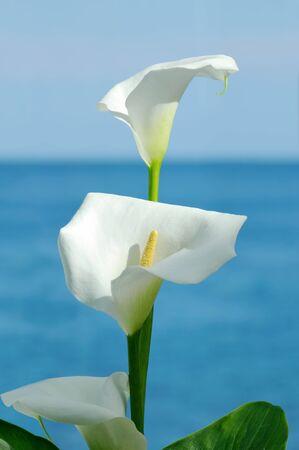 calla lily: Calla and sea  Stock Photo