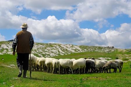 pecora: Pastore con le sue pecore al pascolo