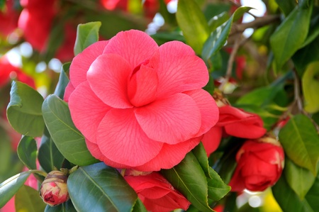 Flower of camellia Stock Photo