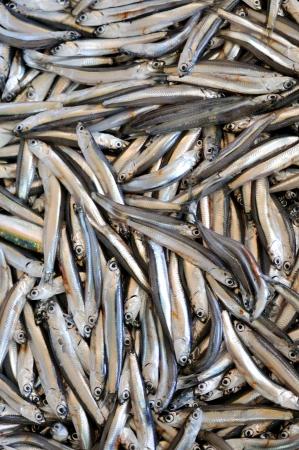 barracuda: Mediterranean sand smelt  Stock Photo