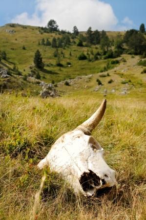 cow skull: Cattle skull in the wild