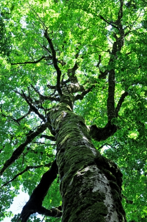 An ancient beech tree  photo