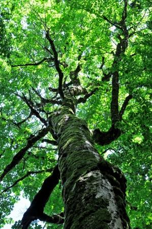 An ancient beech tree