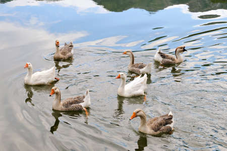 Domestic Geese Swimming in Pond photo