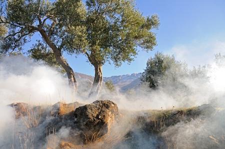 Olive Trees Banque d'images