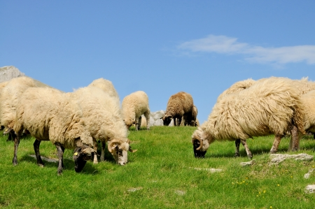 Sheep grazing grass on mountain  photo