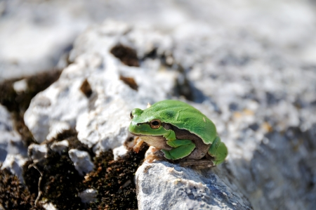 Green frog on the stone in the wild  photo