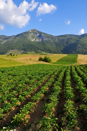 Potato field under blue sky landscape photo