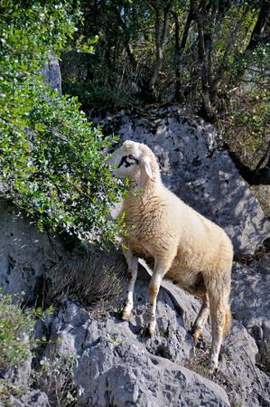 merino sheep: Sheep on the rocks grazing
