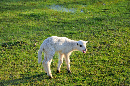 bleating: Bleating lamb on the meadow