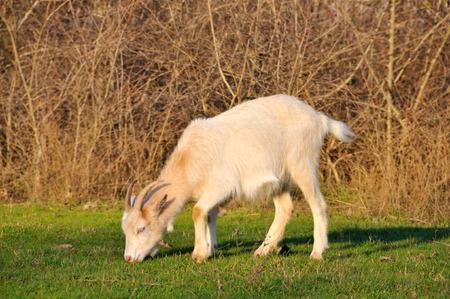 Goat grazing  photo
