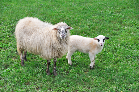 merino: Sheep with lamb on meadow  Stock Photo