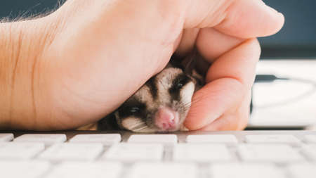 grabing: Curious Sugar Glider on keyboard with hand grabing. Stock Photo