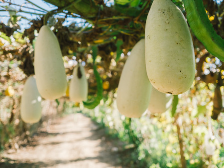 ash gourd: The gourds farm in Thailand.
