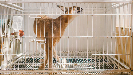 Caracal is walking twisted in the cage.