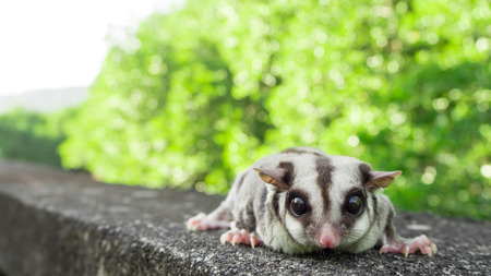 a nocturne: Sugar Glider looking at the camera. Stock Photo
