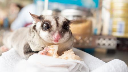 grey eyed: Sugar glider eating minced chicken.