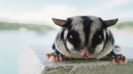 Close up of Sugar glider outdoor.