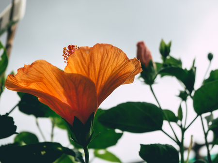 Close up of Orange Shoe Flower from difference angle. Stock Photo