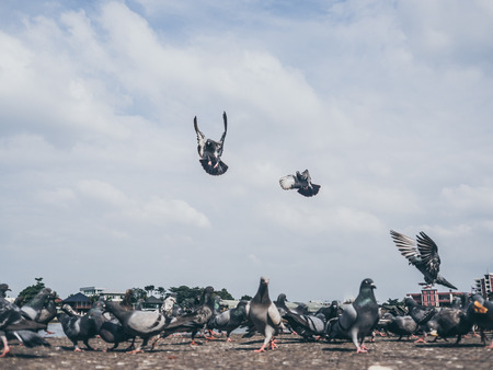 Flock of grey dove fly around and eat on the ground. Stock Photo