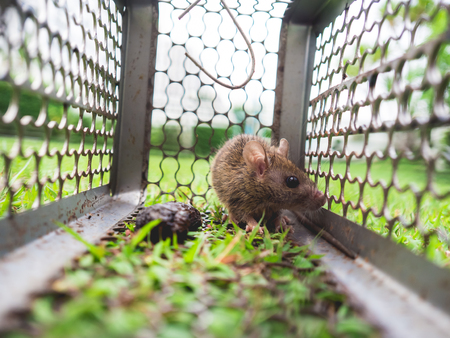 Small house rat trapped in a cage on green grass.