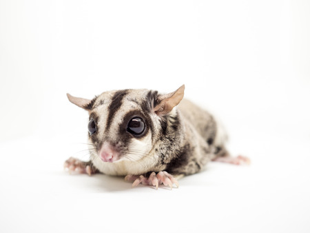 Close up of Sugar Glider isolated on white background.