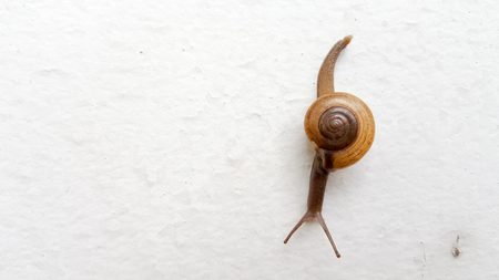 Snail or Gastropods crawling on white wall. This photo shot by mobile phone. Stock Photo
