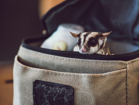 a nocturne: Little cute Sugar Glider is peaking from small bag.