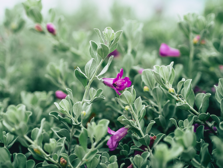 Close up of green velvet bush with small purple flowers stock photo close up of green velvet bush with small purple flowers stock photo 88495669 mightylinksfo