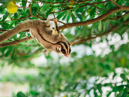 Cute little Sugar Glider playing on tree branch.