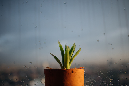 Small pot of Haworthia on the edge of rainy windows.
