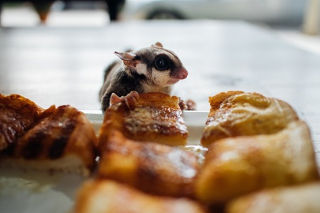 Close up of cute Sugar Glider eat sweetened breads. Banque d'images