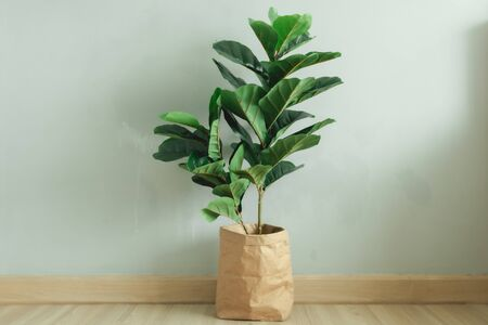 Fiddle Leaf Fig plant with paper pot stand in the room of an apartment.