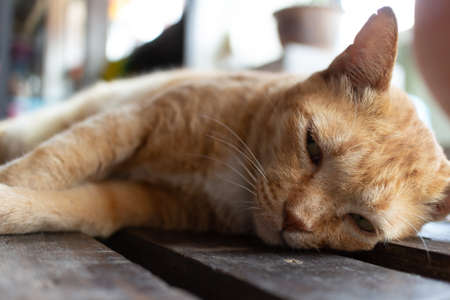 Asian carefree home cat sleeps on the wooden floor.