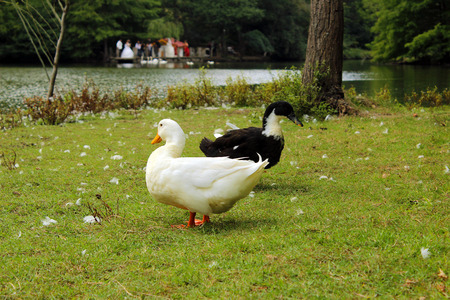 two ducks: Two ducks looking at opposite directions