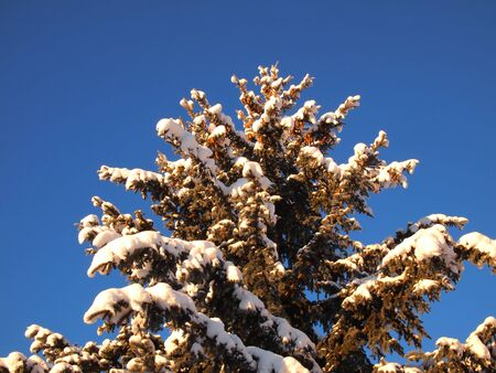 Snow covered blue spruce tree top and blue sky photo.