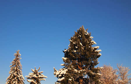 laden: Snow covered tree tops and blue sky.