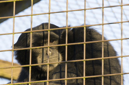 incarcerated: Monkey looking sad through bars of cage Stock Photo