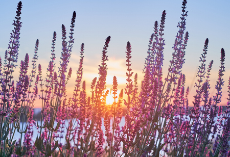 Beautiful sunrise with beams light through the saliva flowers. Little violet sage florets in the light of the sunset Stock Photo