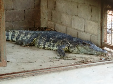 cruel zoo: Close-up of Sleeping Crocodile or Alligator in the Cage