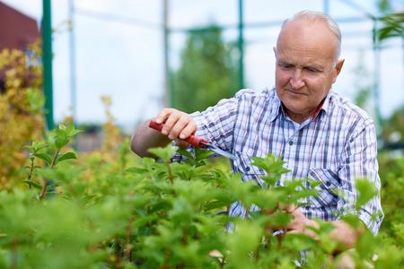 Portrait of grey haired senior man working in garden, cutting branches on bush