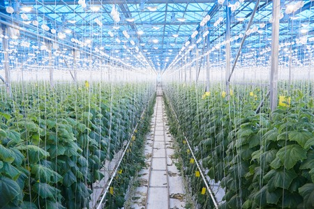 Wide angle view of cucumber plantation in greenhouse of modern industrial farm, copy space