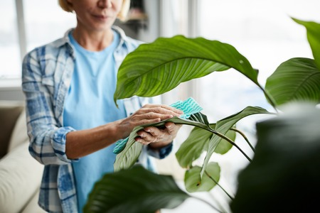 Cleaning leaves of houseplant