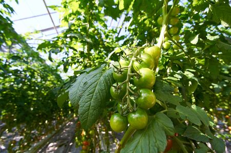 Close-up of bunch with raw green tomatoes ripening in modern greenhouse