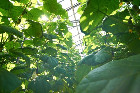 Close-up of growing cucumber plant in greenhouse, sunlight above glass roof Stockfoto
