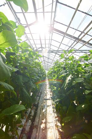 Glass building with tubes between rows of plants under sunlight, small rainbow between plants