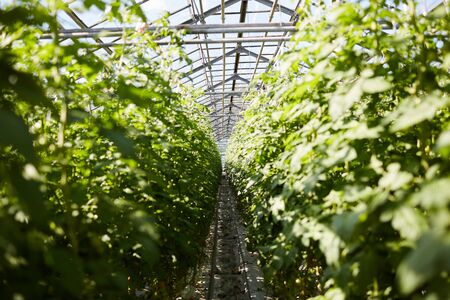 Long plantation rows in greenhouse with transparent roof, pipeline between plants