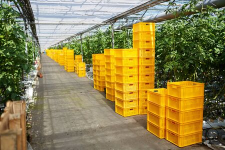 Yellow farm baskets stacking in hothouse with green plants in rows, copy space Imagens